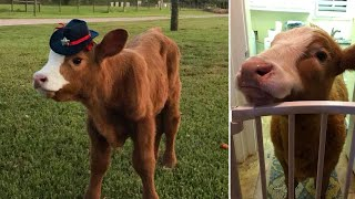 Calf Rescued During Hurricane Harvey Thinks She's a Dog