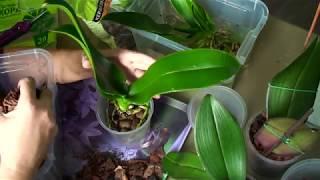 ПЕРЕСАДКА слабых ОРХИДЕЙ после японского СТИМУЛЯТОРА роста корни орхидеи