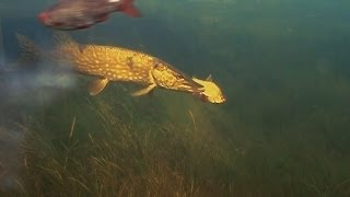 How to film pike attack underwater, no hooks, first attempt. Рыбалка: щука и живец