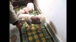 Danut, Danuta Westie Saved From A Breeder, Buftea - Romania