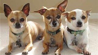 Tại sao nhiều người lại thích nuôi Chihuahua 1 giống chó vô dụng