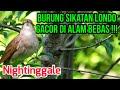 Kicauan Merdu Burung Sikatan Londo Di Alam  Mp3 - Mp4 Download