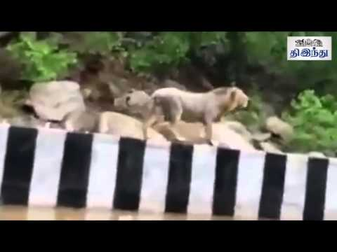 Lion walks free on Gujarat road | Tamil The Hindu