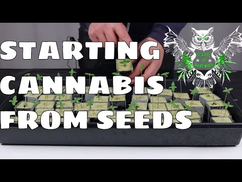 How to Start Growing Cannabis from Seeds | Learn How to Grow Marijuana at Home | Increased Yield