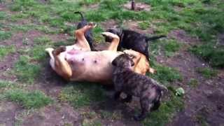 Pups Playing With Mum, For Sale, 6 Weeks Old, Neapolitan Mastiff X Dogue De Bordeaux