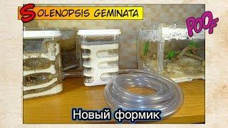 Новый формикарий у огненных муравьев ● Solenopsis geminata