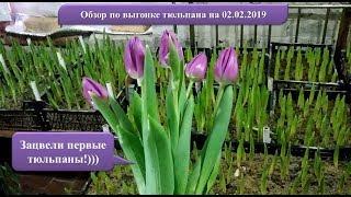 Обзор по выгонке тюльпана на 14 февраля и 8 марта. Первые тюльпаны зацвели!