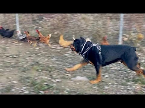Rottweiler obedience + chasing chickens  80