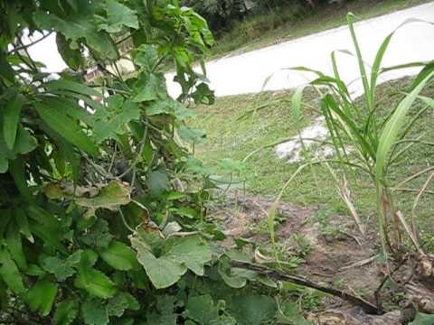 Edible Landscaping and Sustainable living in Central Florida YouTube