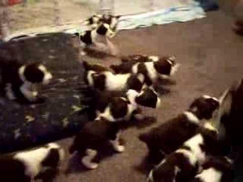 13 English Springer Spaniel Puppies chasing momma