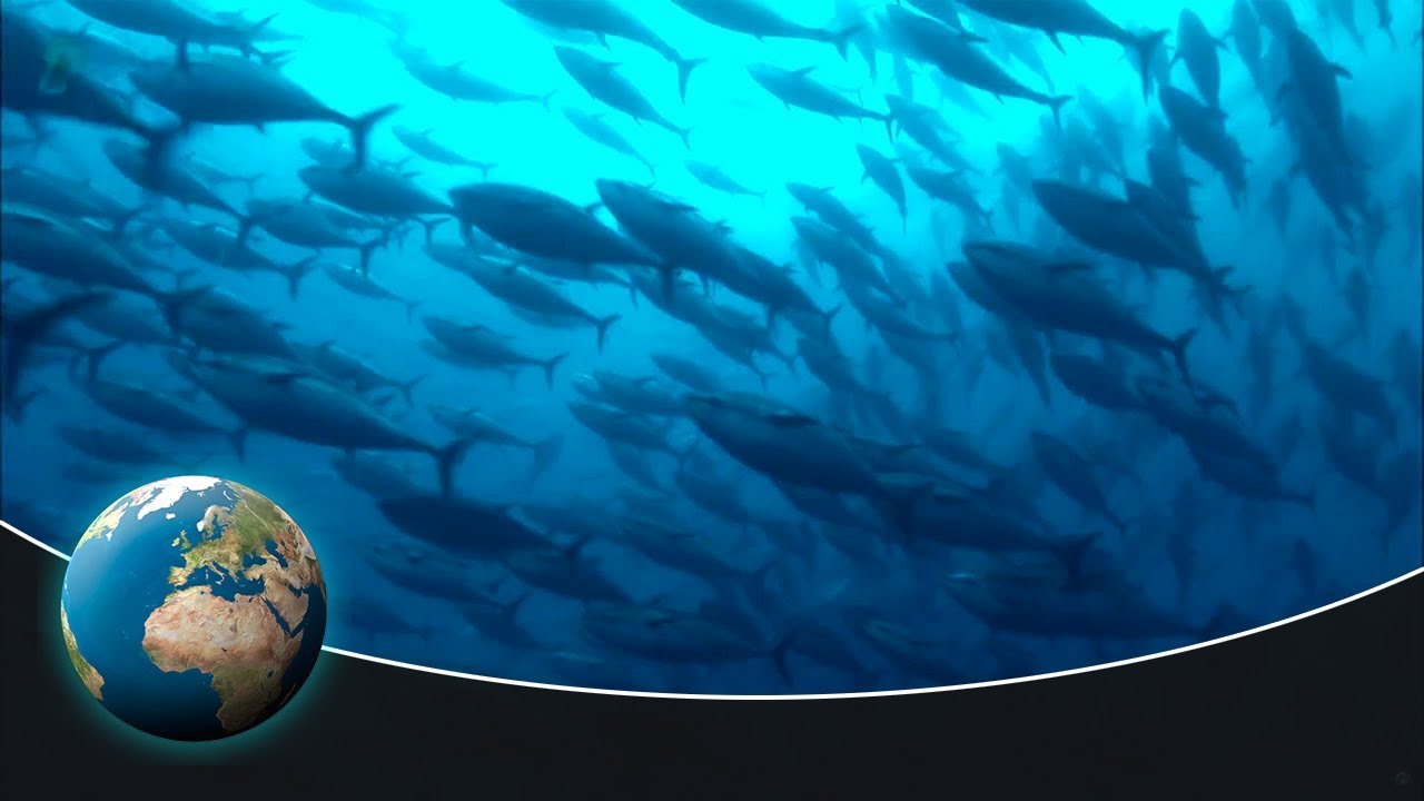 The fascinating migration of tuna