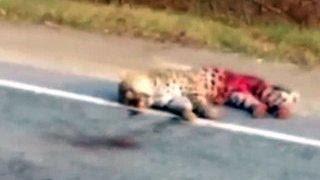 На трассе в Приморье задавили краснокнижного дальневосточного леопарда