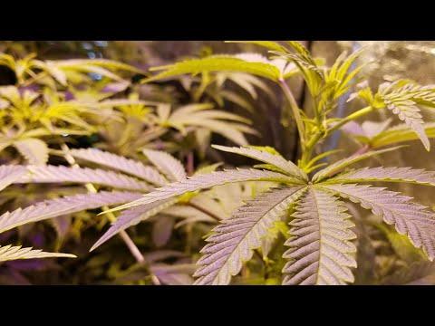 panama-red-grow-week-1-flower