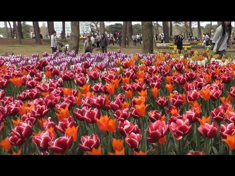 2016 Beautiful tulip in Hitachi Seaside park(Ibaraki,Japan)