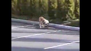 Собака на скейте(Собака на скейте. Скейтборд, скейт, лонгборд, круизер, Доска, Скейтборд для взрослых, купить, skateboard, Роликов..., 2016-01-29T06:56:22.000Z)