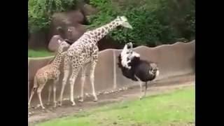 Goana strutului dupa puiul de girafa starneste rasul :))