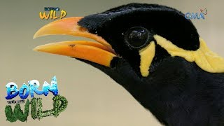 Born to Be Wild: The repatriation of a Philippine Talking Mynah