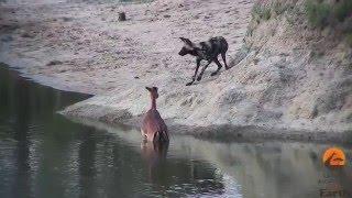 гиеновые собаки настигли антилопу
