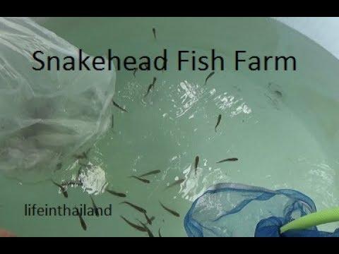 Starting a snakehead fish farm, 100 fish in a 500L tank.