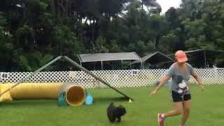 Jax Clean Novice Agility Run - Cairn Terrier, Nadac Course, Hawaii