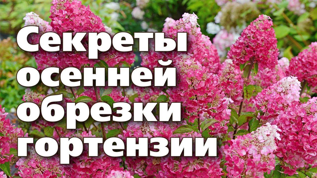 Как обрезать гортензию для пышного цветения. Полная инструкция за 9 мин.