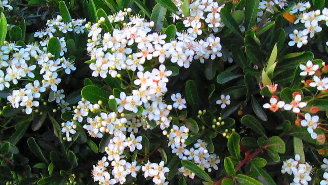 Bush With Little White Flowers Youtube