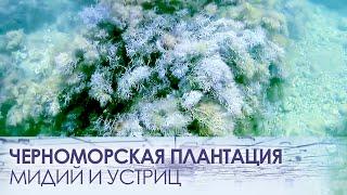 черноморская плантация мидий и устриц