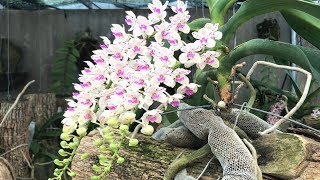 Recycle banana peel and coconut husk as orchids | Rhynchostylis gigantea