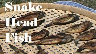 Drying Snake Head Fish