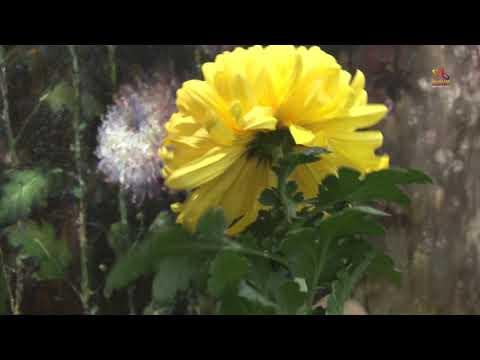 Видео урок живописи Золотая японская хризантема