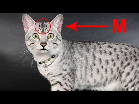 Египетский мау самый быстрый кот в мире. Почти гепард!