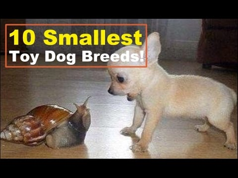 10 Small Long Haired Toy Dog Breeds