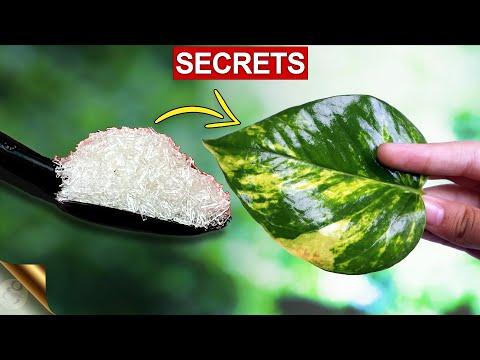 MY SECRETS TO BIG MONEY PLANT (POTHOS) | MONEY PLANT CARE TIPS - COMPLETE GUIDE