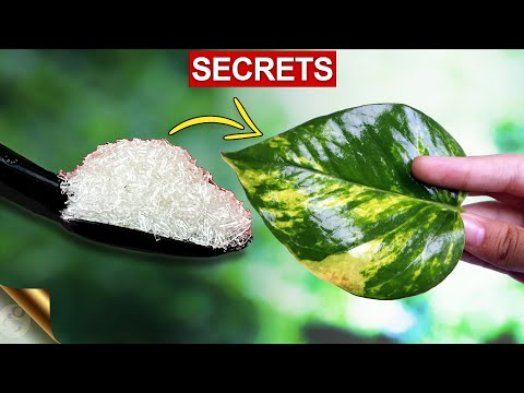 MY SECRETS TO BIG MONEY PLANT (POTHOS)   MONEY PLANT CARE TIPS – COMPLETE GUIDE