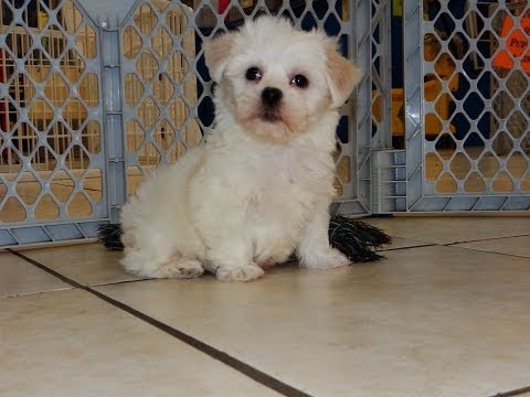 Coton De Tulear, Puppies, Dogs, For Sale, In Jackson, Mississippi, MS, 19Breeders, Hattiesburg