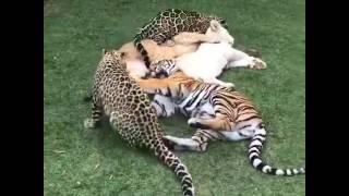 ネコ科動物大集合! サビイロネコ 検索動画 17