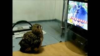 「なんや変な顔のやつ出たー!」テレビのアザラシに蹴りを入れるミミズク