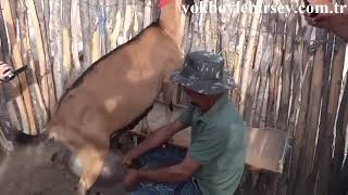 Козы, которые дают десять литров молока!