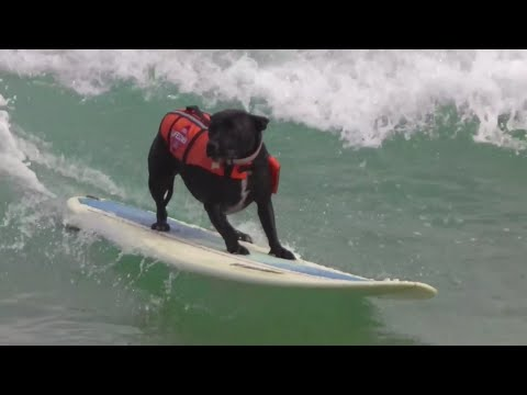 Ash Surfing Dog
