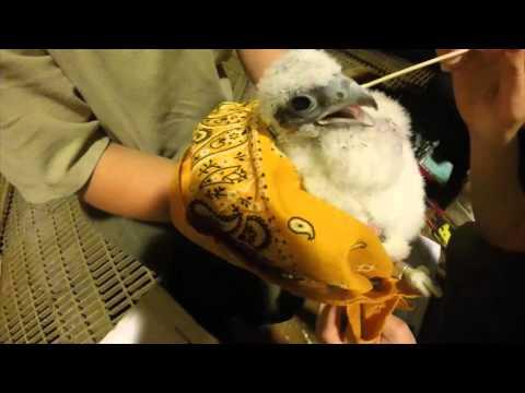 Falcon Banding 2016