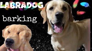 Labradog retirever barking @home   வீட்டில் வளர்க்கும் நாய் குரைத்தல்   labradog   pet animal 