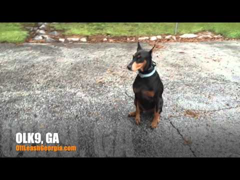 "3 Year Old Doberman Pinscher ""Luna"" Before/After Video 