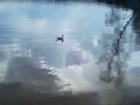 Видео, A lone seagull on Visaginas LakeОдинокая чайка на Висагинском озере