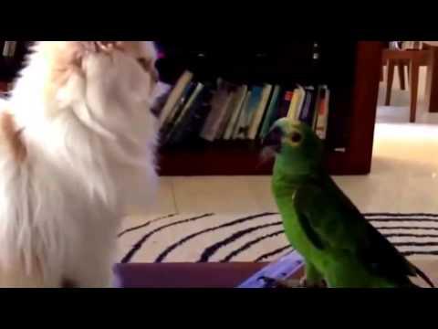 Смешные попугаи. Попугай и кошка. Самое смешное видео со