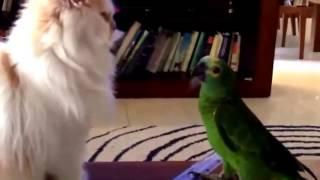 Смешное видео  дужба  Попугая и Кошки. Смех до слёз.