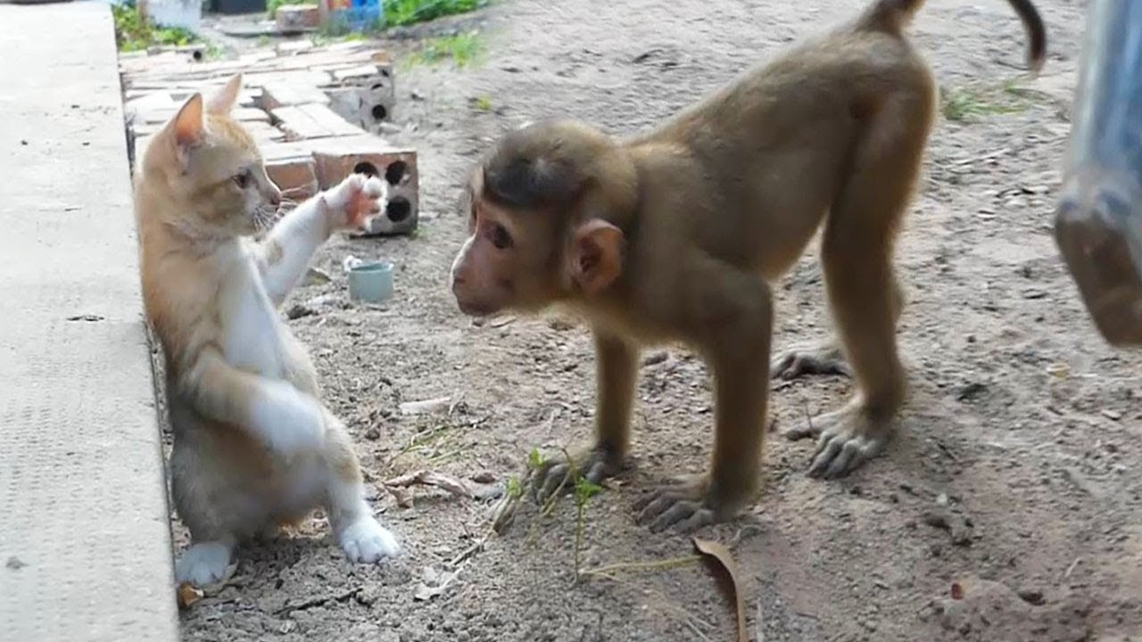 Baby Monkey Dodo Outside Play With Kitten Cat Very Happy