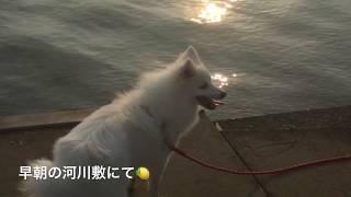 Japanesespitz Lemon  <早朝散歩にて、朝日が気持ちいい> わたちレモ...