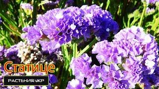Садовые цветы. Статице (лимониум или кермек)
