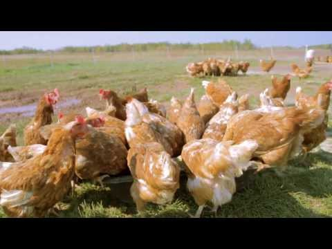 Locally Laid Egg Company - intro video
