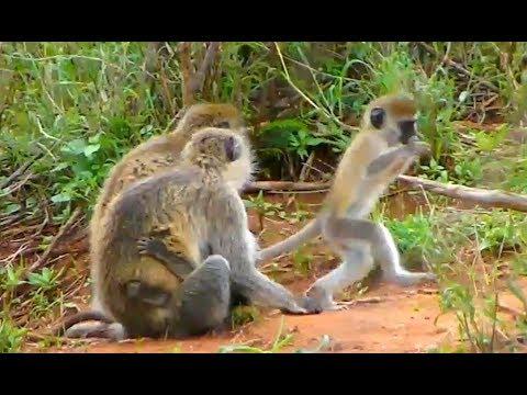 Vervet family. :-)  Africa River cam. 16 March 2018